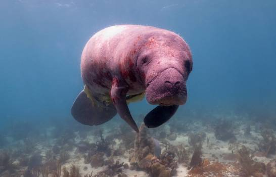 Measures taken to protect Dominican manatees in La Romana-Bayahíbe - Jaime Bonetti Zeller